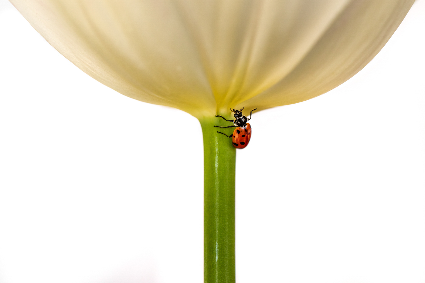 46Open_Terry_Miranda_2_Ladybug_on_a_tulip